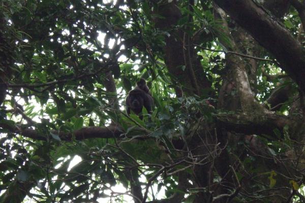 Mono Aullador e Cría- Selva de Omepete