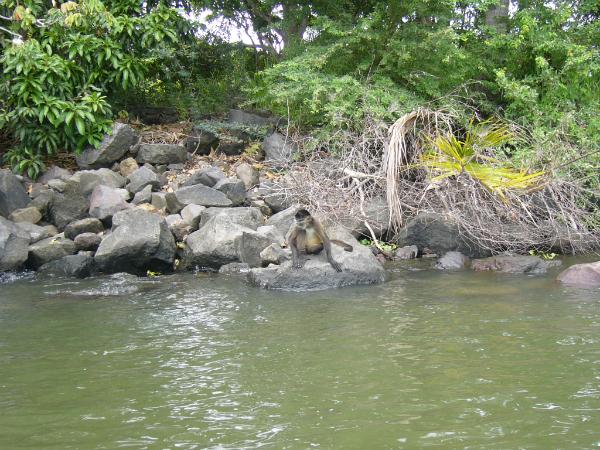 Mono Araña - Isletas de Granada